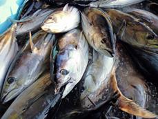 気仙沼産カツオのカツオ飯
